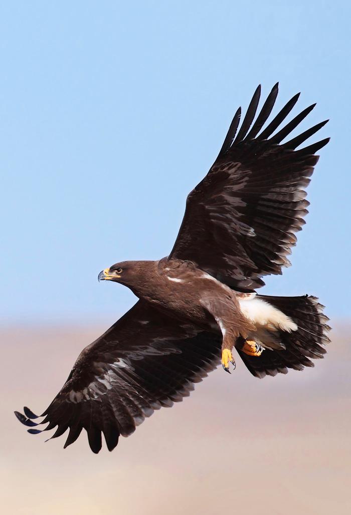 雕_《蓝天王者》鸟类摄影展茶色雕许彤摄-系列影展-大众影廊